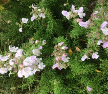 conradina-grandiflora_-conradina
