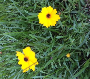 coreopsis-leavenworthii_-tickseed