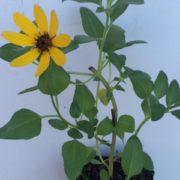 helianthus-debilis-_-dune-sunflower-copy