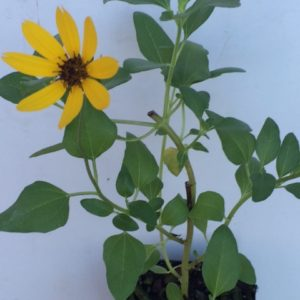 helianthus-debilis-_-dune-sunflower-copy
