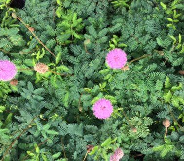 mimosa-strigillosa_-sunshine-mimosa