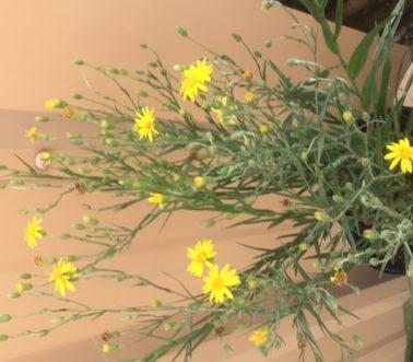 pityopsis-graminifolia-silk-grass