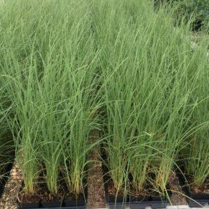 sea-oats-4-inch