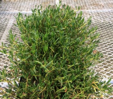 sea-purslane-retail-4-inch-copy