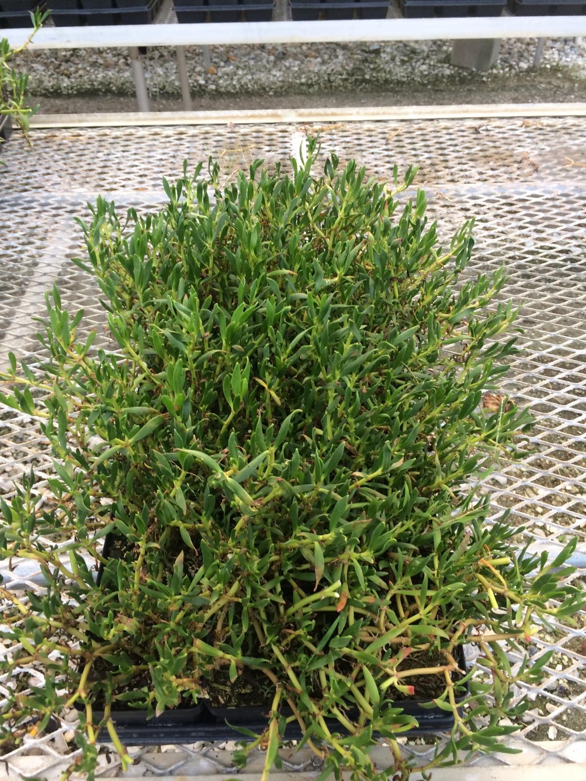 Growing Purslane How To Grow Edible Purslane In The Garden: Green Seasons Wholesale Nursery
