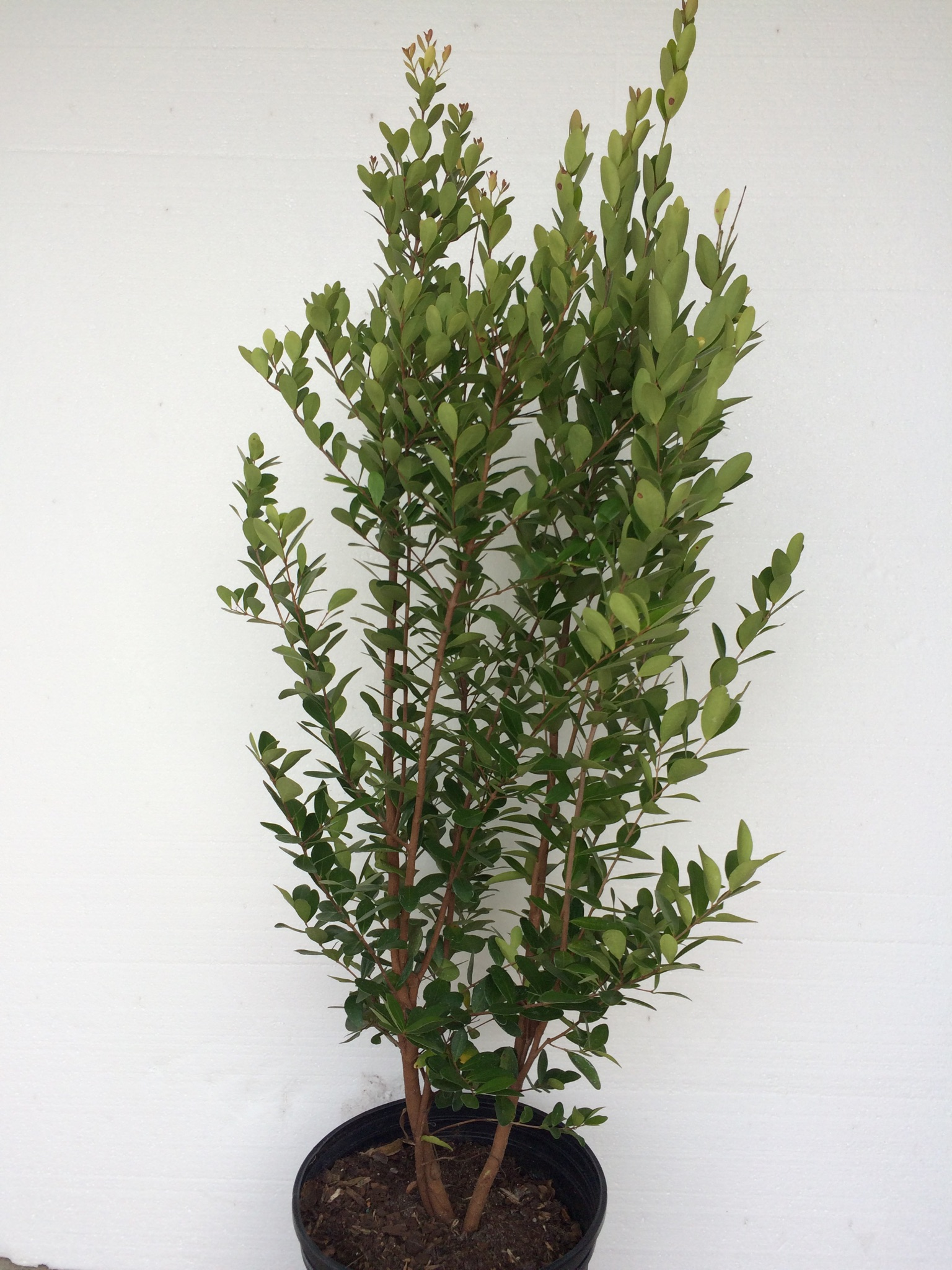 Spanish Stopper For Sale Green Seasons Wholesale Nursery